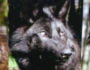 Wolf (Canis lupus) - Timberwölfe (Canis lupus lycaon), Die Timberwölfe leben in den Wäldern Nordamerikas. Sie jagen Elche und Weißwegelhirsche. In der USA gibt es nur noch wenige Timberwölfe, doch in Kanada sind sie noch weit verbreitet.