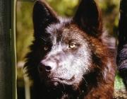 Wolf (Canis lupus) - Timberwölfe (Canis lupus lycaon), Wölfe sind in Rudeln lebende Tiere. Während der warmen Jahreszeit sieht man sie aber auch alleine umherziehen.