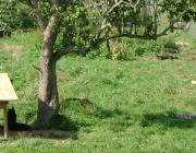 Wolf (Canis lupus) - Timberwölfe (Canis lupus lycaon), Innerhalb des Rudels paaren sich nur die ranghöchsten Tiere. An der Jagd sind alle erwachsenen Tiere eines Rudels beteiligt.