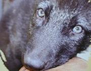 Wolf (Canis lupus) - Timberwölfe (Canis lupus lycaon), Gibt es Streit in der Gruppe, zeigen sich die Untergebenen demütig: Ihre Körperhaltung ist geduckt, die Ohren sind nach hinten gelegt, der Schwanz ist eingezogen.