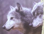 Wolf (Canis lupus) - Timberwölfe (Canis lupus lycaon), Der Wolf verfügt über außerordentlich sensible Sinne und enorme Kraft in den Kiefern.