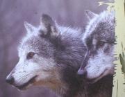 Wolf (Canis lupus) - Timberwölfe (Canis lupus lycaon), Der Druck beträgt bei einem Biss 150 kg pro Zentimeter! Genug Kraft, um einem Karibu das Bein abzubeißen.