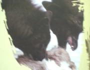 Wolf (Canis lupus) - Timberwölfe (Canis lupus lycaon), Wölfe gelten gemeinhin als scheu. Dem jeweiligen Lebensraum und (habitat-spezifischen) Lebensbedingungen angepasst, können sie allerdings eine erstaunliche Verhaltensflexibilität an den Tag legen.