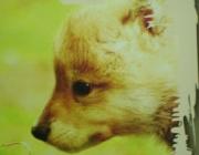 Wolf (Canis lupus) - Timberwölfe (Canis lupus lycaon), Der Timberwolf ist eine der größeren Unterarten des Wolfes.