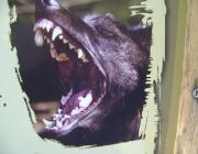 Wolf (Canis lupus) - Timberwölfe (Canis lupus lycaon), Nur die ranghöchsten Tiere eines Rudels paaren sich. Die Paarung findet im Frühjahr statt.