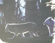 Wolf (Canis lupus) - Timberwölfe (Canis lupus lycaon), Dazu sucht es einen Erdbau auf, in dem die Jungen in der ersten Zeit auch bleiben. Nach etwa 14 Tagen öffnen sich die Augen.