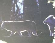 Wolf (Canis lupus) - Timberwölfe (Canis lupus lycaon), Den Bau verlassen sie dann mit etwa 3 bis 4 Wochen erstmals um die Umgebung zu erkunden.